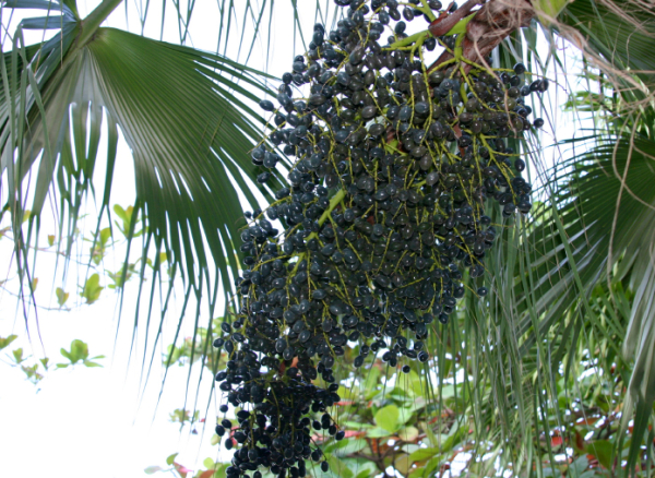 Branched panicles of acai berries